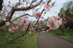 【2018年】札幌市平岡公園の梅の開花状況とおすすめ駐車場