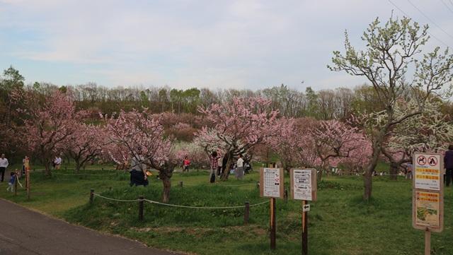 平岡公園で満開の梅